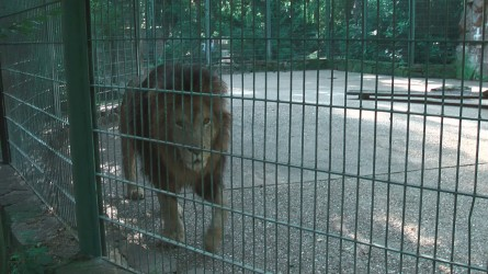 Löwe im Eifel-Zoo