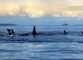 Orcas in Freiheit